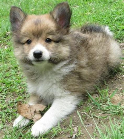 shetland sheepdog pomeranian mix poshie pomeranian x sheltie mix info temperament puppies pictures