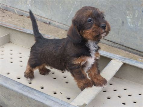 dachshund shih tzu mix schweenie dachshund shih tzu mix info puppies temperament pictures