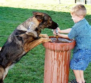 goldendoodle puppy drinks a lot of water what is causing my german shepherd to drink so much