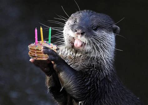 birthday otter otters animals animal photo