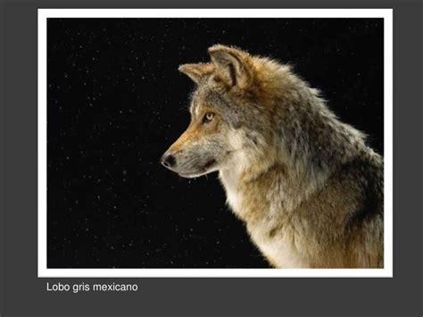 im 225 genes de un lobo gris im 225 genes y fotos im 225 genes hermosas de national geographic