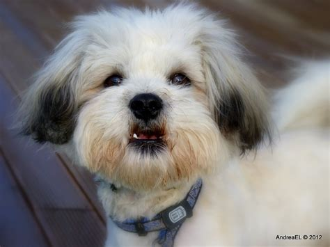 face haircuts for shichon 88 best images about dogs shih tzu bichon shichon