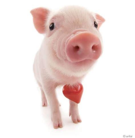 valentines pig 67 best the pig images on mini pigs mini