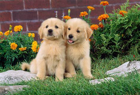 golden retriever puppies santa barbara golden retriever animal stock photos kimballstock