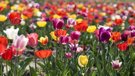 garten tulpe tulpen sorten freizeit verbraucher wdr