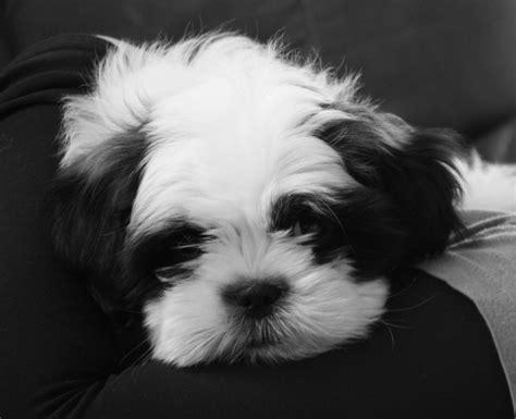 taking care of a shih tzu 5 tips on taking care of shih tzu puppies