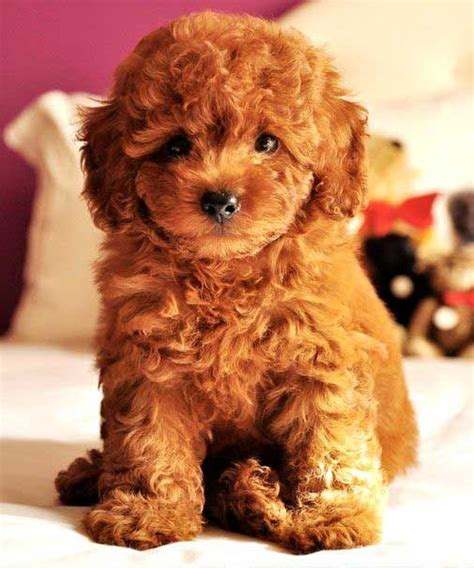 doodle name jayson 45 best teddy puppies images on