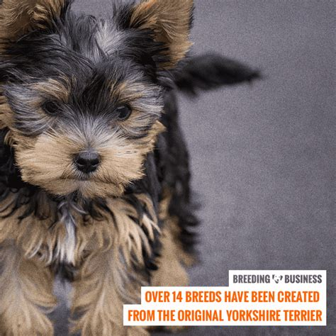 yorkie hybrid breeds how to breed terriers mating pregnancy in yorkie