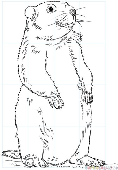 Groundhog Drawing how to draw a groundhog step by step drawing tutorials