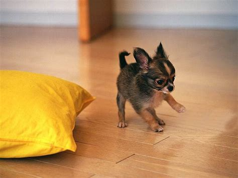 how before puppies open 5 need to knows before getting a chihuahua viralpawz
