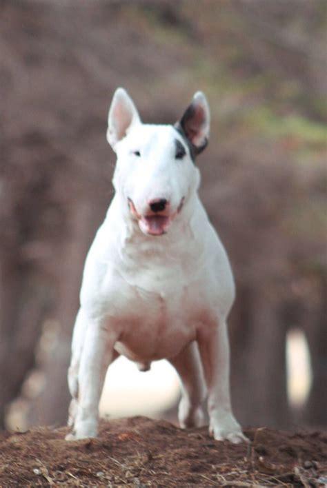 cachorros bull terrier ingles  en mercado libre