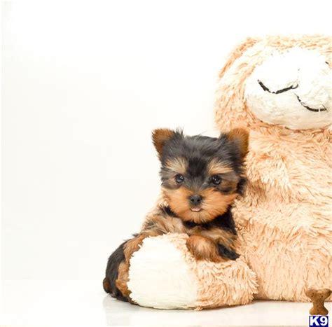 teacup yorkie for adoption in ohio terrier puppy for sale buy our teacup yorkie puppy for adoption in ohio 5
