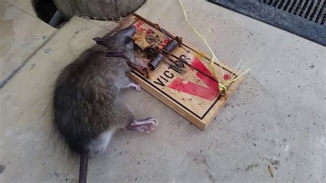 mouse benching mouse trap victor rat trap vs the better rodent trap youtube