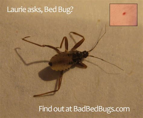 Do Bed Bugs Antennas by Bed Bug Bites How Does It Last Bedding Sets
