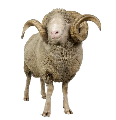 png background sheep transparent   icons