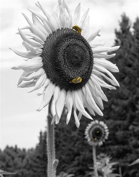 wallpaper manusia hitam gambar bunga matahari hitam putih iii kumpulan gambar