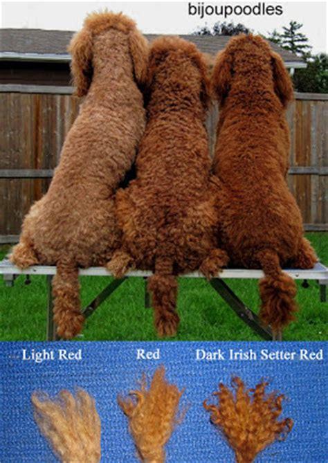 poodle colors huxtable the poodle poodle parti poodle