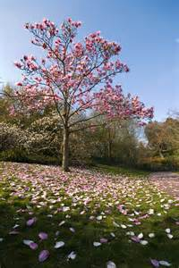 magnolia tree types learn about common varieties of