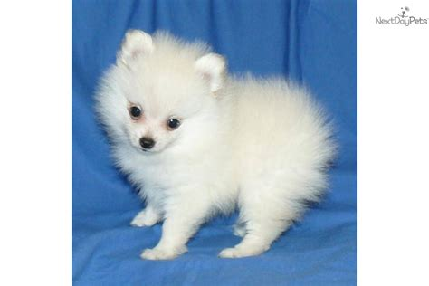 pomeranian ohio pomeranian puppy for sale near springfield missouri c53ec5da d571