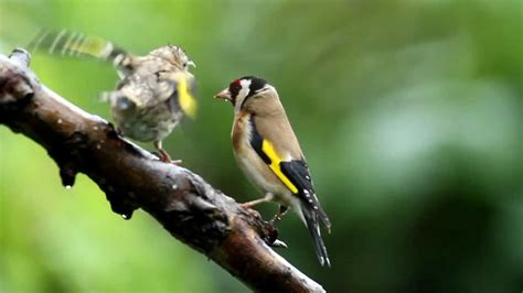 uk garden birds goldfinch feeding young youtube