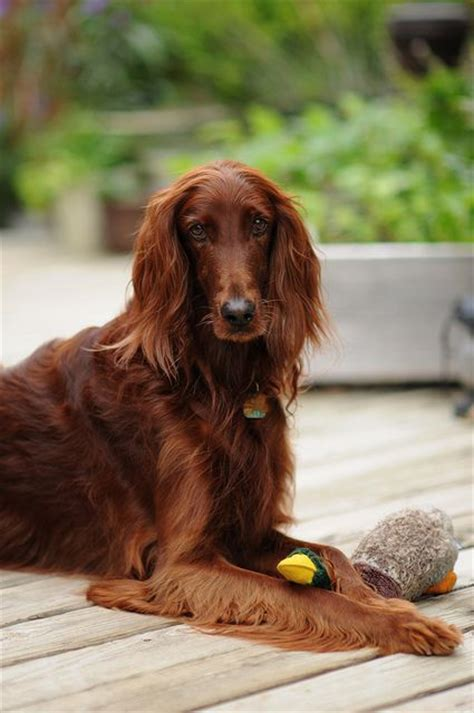 irish setter girl dog names irish setter all about setters pinterest beautiful