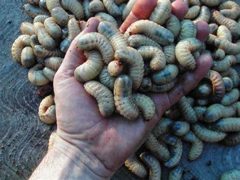 lombrichi nei vasi esperienza con larve grasse forum di giardinaggio it