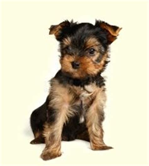 morkie puppies for sale in nj teacup yorkie puppies for sale in va pomsky picture breeds picture