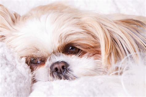sad shih tzu puppy dogs and seasonal affective disorder sad crossroads shih tzu rescue