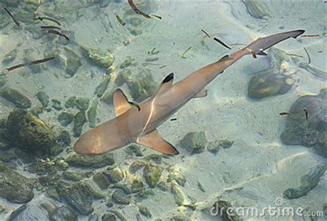 baby shark instrumental baby shark royalty free stock images image 12642529