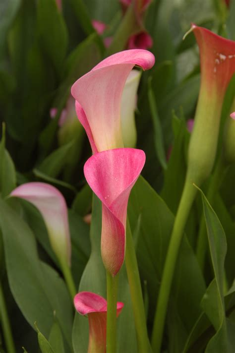summer flower calla lily
