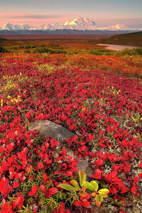 alaska colors denali national park fall colors by kevin mcneal