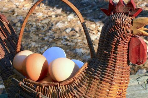 how chicken tractors can increase egg production and get how to get winter chickens to lay hgtv