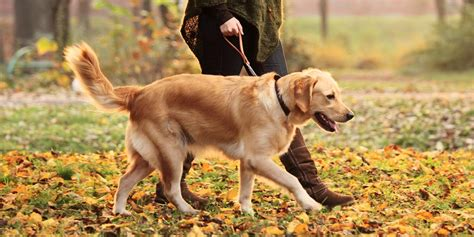 when can a puppy go outside for walks smarts grooming and walking services derby derbyshire