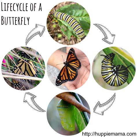 cycle of a pin butterfly cycle lesson plans on