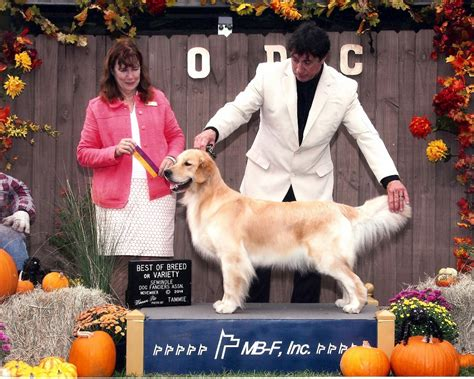 golden retriever breeders usa best golden retriever in usa photo