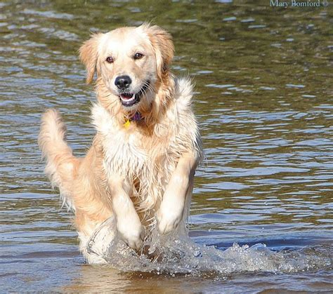 golden retriever activities 58 best images about golden retrievers in on show westminster