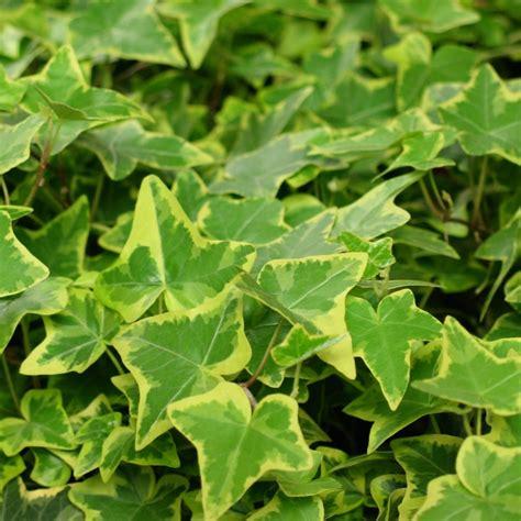 Planter Lierre Grimpant by Lierre Panach 233 Plantes Et Jardins