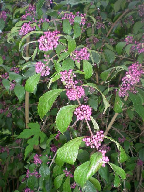 shrub with purple flowers jarvis house purple flowering shrubs in september at