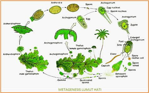 metagenesis tumbuhan lumut dan paku