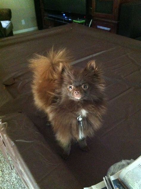 teacup brown pomeranian brown teacup pomeranian