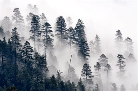 file trees in the mist 7699564540 jpg wikimedia commons