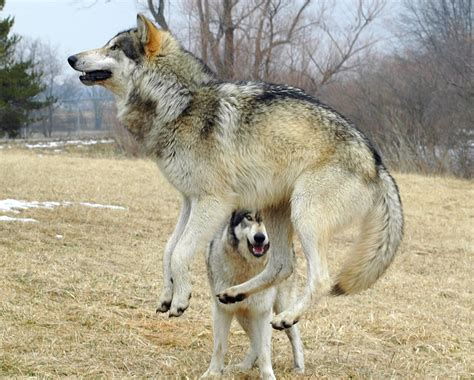 that looks like a wolf who s afraid of the big bad beautiful wolf 56 pics