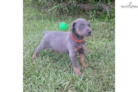 blue doberman pinscher puppies for sale black doberman pinscher car pictures