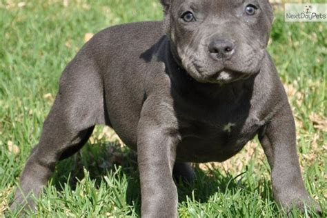 pitbull terrier puppies american terrier pitbull puppies www imgkid the image kid has it
