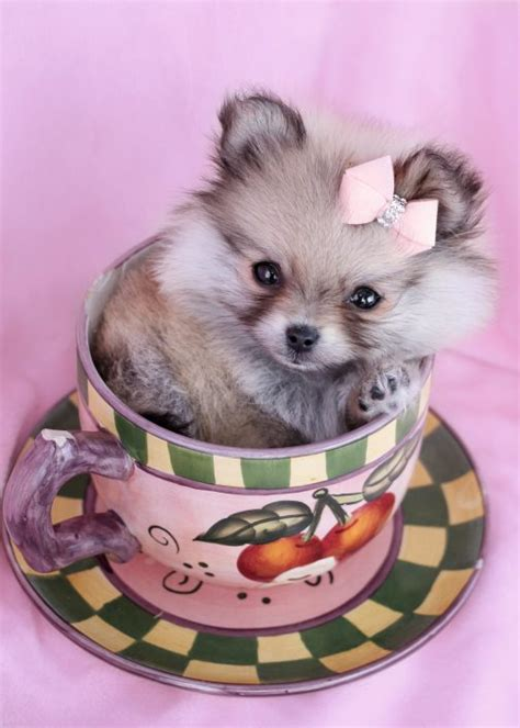 teacup pomeranian puppies sale tiny teacup pomeranians and pomeranian puppies for sale by teacups teacups puppies