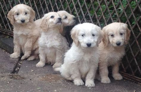 puppies for sale birmingham cockapoo puppies for sale birmingham west midlands pets4homes