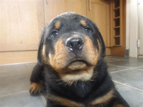 rottweiler breeders in uk kc rottweiler puppies northton northtonshire pets4homes