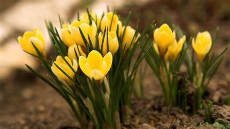 Flowers In A Vase Images Hd Hintergrundbilder Fr 252 Hlingsblumen Gelb Schneegl 246 Ckchen