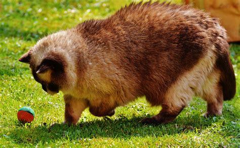 Coklat Imut gambar bermain manis imut margasatwa bulu kucing