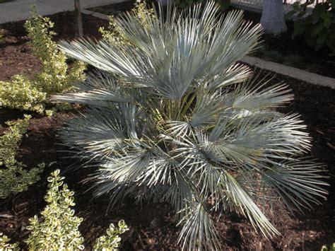 blue mediterranean fan palm for sale chamaerops humilis cerifera blue mediterranean fan